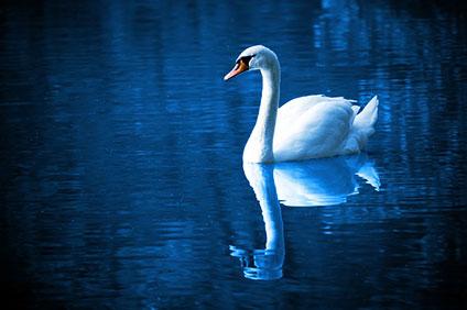 夜の湖を泳ぐ白鳥